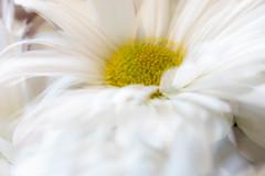 Double Exposure Daisy (norasphotos4u) Tags: 3652019 macro ©noraleonard social canon5dmkiv flowersplants canonef100mmf28lisusmmacro colors abstractimpressionist multipleexposure yellow flickr white