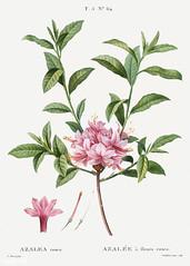 Mountain azalea (Azalea rosea) illustration from Traité des Arb