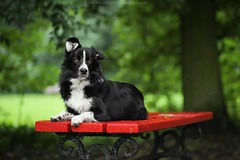 Drive (Wioletta Mierzyńska) Tags: border collie bordercollie dog pet animal dogphotography dogportrait portrait dogphoto dogpicture animalphotography petphotography summer