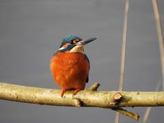 Kingfisher  DSCN5198 (ianpreston) Tags: 2019 willington derbyshirewildlifetrust kingfisher