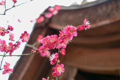 Red Plums (yukky89_yamashita) Tags: 京都 梅宮大社 紅梅 kyoto shrine plums bloom