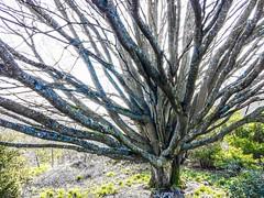 Hiller's Arboretum, Romsey (MacBeales) Tags: wood bare winter bark iphone apple hamsphie romsey arboretum hilliers branches trunk tree