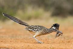 Greater roadrunner and mouse (tinahay) Tags: riograndevalley birds alamo texas nature santaclararanch
