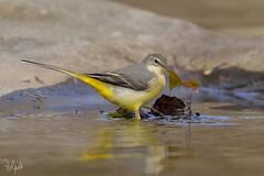 Ballerina Gialla (Polpi68) Tags: nikon birds birdwatching ballerinagialla