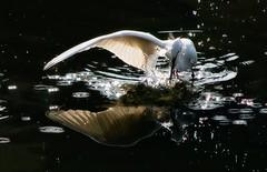Wing Splash (jcowboy) Tags: egret water reflection nature birds pond wildlife splash wings droplets backlit