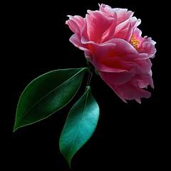 Camellia (Pixel Fusion) Tags: nature nikon flora flower aperture macro d600 photoshop