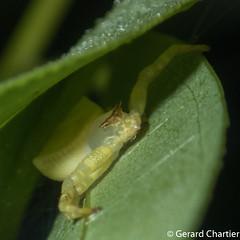 Thomisus sp. (GeeC) Tags: arachnida animalia araneomorphae thomisus arthropoda kohkongprovince araneae cambodia trapeangreung nature thomisidae crabspiders spiders truespiders