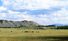 Grand Teton National Park with Buffalo [Bison] 1699 (Tangled Bank) Tags: wyoming wild nature natural outdoors west western america american grand teton national park with buffalo 1714 geology mammal animal wildlife bison