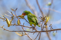 White-fronted parrot (Peter Stahl Photography) Tags: santacruz guanacasteprovince costarica cr whitefrontedparrot parrot