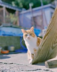 cat (428sr) Tags: pentax67 fujifilm pro400h 6×7 120 neko ねこ 猫