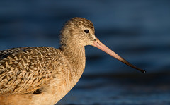 Marbled Godwit (markvcr) Tags: marbled godwit bird nature wildlife marbledgodwits coth5