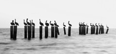 Pelicans on the Pilings (mjhedge) Tags: highcontrast bw blackandwhite blackwhite monochrome pelicans pilings naples gulfofmexico gulf florida sunset water oly olympus getolympus em1x 12100mm 12100mmf4 12100mmf4pro
