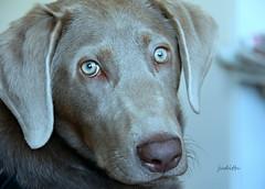 just another pretty face (Judecat (ready for springtime)) Tags: dog canine puppy silverlabradorretriever labradorretriever pearl