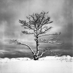 (Samuli Koukku) Tags: landscape nature tree yyteri pori finland filmphotography film hasselblad 6x6 120 winter zeiss distagon 500cm 50mm bw blackwhite mediumformat