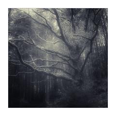 Welsh Woodland (gerainte1) Tags: hasselblad501 pancro400 film blackandwhite trees woodland winter snowdonia wales