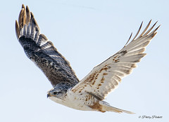 ferruginous hawk (Pattys-photos) Tags: ferruginous hawk idaho winter pattypickett4748gmailcom pattypickett