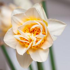 365.86 - More flowers (AmyGStubbs) Tags: 2019 27mar19 365the2019edition 3652019 day86365 e30 fl50 flash olympus sigma105mmf28exdgmacrofourthirds