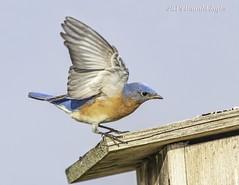 Eastern Bluebird IMG_4054b (ronzigler) Tags: thrush songbird nature birdwatcher avian wildlife bluebird eastern bird watcher