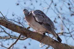 Pigeon colombin - 6937 (Luc TORRES) Tags: annecy auvergnerhônealpes columbidés columbiformes faune france hautesavoie lacdannecy nature oiseaux pays pigeoncolombin