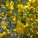 Au jardin, genêt à balais (Cytisus coparius), Bosdarros, Béarn, Pyrénées Atlantiques, Aquitaine, France.