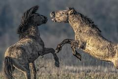 Wild horses (Wim van de Meerendonk, loving nature) Tags: animal horses amerongen nature outdoors outdoor wimvandem wild wildhorses ethology netherlands provincieutrecht sony thenetherlands utrecht wildlife mammal mammals ngc