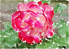 Nun wird des Menschen Sohn zum Tod geführet (amras_de) Tags: rose rosen ruža rosa ruže rozo roos arrosa ruusut rós rózsa rože rozes rozen roser róza trandafir vrtnica rossläktet gül blüte blume flor cvijet kvet blomst flower floro õis lore kukka fleur bláth virág blóm fiore flos žiedas zieds bloem blome kwiat floare ciuri flouer cvet blomma çiçek zeichnung dibuix kresba tegning drawing desegnajo dibujo piirustus dessin crtež rajz teikning disegno adumbratio zimejums tekening tegnekunst rysunek desenho desen risba teckning çizim