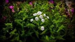 The Serenity of a Garden (Bob's Digital Eye 2) Tags: bobsdigitaleye canon efs24mmf28stm flicker flickr july2018 t3i bobsdigitaleye2 flowers softfocus gardenflowers garden