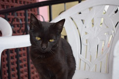 time spent with a cat is never wasted (sandhya.sahi) Tags: cats pet animal domestic cute cat blackcat