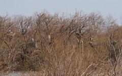 Héron cendré sur les nids - IMB_7865 (6franc6) Tags: réserve scamandre mars 2019 occitanie languedoc gard 30 petitecamargue 6franc6 vélo kalkoff vae