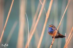 Bluethroat (Ooijpolder, Netherlands) (Renate van den Boom) Tags: 04april 2019 blauwborst europa gelderland jaar maand nederland ooijpolder renatevandenboom vogels
