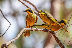 Yellow-tufted Honeyeaters (Rodger1943) Tags: honeyeaters yellowtuftedhoneyeaters australianbirds sonyrx10m4