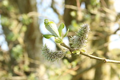 Goat Willow (worldthroughalens74) Tags: goatwillow tree flowers uk england staffs nature outdoors canon sigma spring