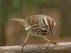 Song Sparrow_11Mar2019 (Bob Vuxinic) Tags: bird songsparrow melospizamelodia treebranch cumberlandplateau crossvilletennessee 11mar2019