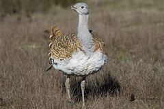 Avutarda común (Otis tarda) (jsnchezyage) Tags: avutardacomún otistarda ave pájaro bird birding ornithology beak feather bustar greatbustard