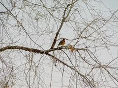 Varied Thrush in Winter Elm (starmist1) Tags: january winter elm tree branches limb twig perch bird variedthrush overcast sky skeleton wintertree