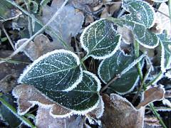 IMG_5577k (dianangelah) Tags: winter eis frost hiver reif kristall christals blatt blätter leaves feuilles natur nature raureif hoarfrost givre geada