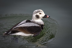 Long Tailed Duck 2019 (John Hoadley) Tags: longtailedduck burlington ontario 2019 january canon 7dmarkii 100400ii f63 iso200 duck bird