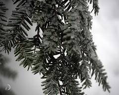Il a plu des perles et des diamants/It rained perls and diamonds (bd168) Tags: em10markii m1442mmf3556ez tree forest forêt pluieverglaçante freezingrain diamand diamonds perls perles hiver winter closeup grosplan
