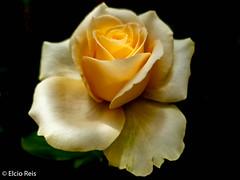 Champagne rose (elcio.reis) Tags: flower rose galaxys9 flores flowers rosa flor sãopaulo brasil br