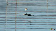 A-LUR_3827 (OrNeSsInA) Tags: aly passignano panicale natura panorami campagma campagna landescape trasimeno nikon canon airone airon cormorano spettacolo birdwatching albero cielo animale mare acqua uccello