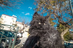 Jewish cat (MeirArt) Tags: cat cats jerusalem israel canon pet pets black blue kitty