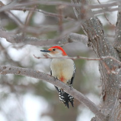 087. Woodpecker (Misty Garrick) Tags: arboretum universityofminnesotalandscapearboretum landscapearboretum flowershow bird birds birding