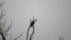 Bald Eagle_2149.mp4 (Henryr10) Tags: 4seasonsmarina kellogg ohioriver cincinnati oh usa andersontownshipoh ohio haliaeetus haliaeetusleucocephalus baldeagle raptor eagle avian bird vogel ibon oiseau pasare fågel uccello tékklistar baea