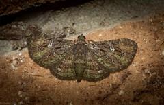 Symmimetis muscosa (dustaway) Tags: tamborinemountain mounttamborine sequeensland queensland australia insecta lepidoptera geometridae larentiinae symmimetismuscosa