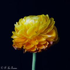 Renoncule 01 (letexierpatrick) Tags: renoncule fleur flower flowers fleurs floraison botanique bouquet nature colors couleurs couleur coeurdefleurs jaune orange old france europe explore nikond7000 nikon