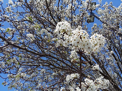 Blossoming Bradford Pear Tree. (dccradio) Tags: lumberton nc northcarolina robesoncounty outdoor outdoors outside sky bluesky streetlight light lightpole lamppost parkinglotlight tree treebranches branch branches floweringtree bradfordpeartree decorativetree bloom blooming blossoms blossom blossoming nature natural march spring springtime saturday afternoon saturdayafternoon goodafternoon samsung galaxy smj727v j7v cellphone cellphonepicture flower flowering floral plant whiteflower