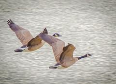 On Parade. (Omygodtom) Tags: nature natural nikon70300mmvrlens bird geese river scene season setting d7100 dof speed wild wildlife