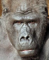 western lowlandgorilla Massa Krefeld 094A0908 (j.a.kok) Tags: animal africa afrika aap ape mammal monkey mensaap massa primate primaat zoogdier dier westelijkelaaglandgorilla westernlowlandgorilla gorilla lowlandgorilla laaglandgorilla zilverrug silverback krefeld