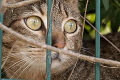 IMG_0979 Cat in Sa Rapita, Mallorca (Fernando Sa Rapita) Tags: baleares canon canoneos eos1300d mallorca sarapita sigma sigma105mm sigmalens animal cat gatito gato kitten mascota pet