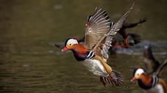 PIC_3465 (kryztophe) Tags: duck pato mandarín patomandarim mandarinente mandarinréce мандаринка 鸳鸯 mandarijneend anatra mandarina mandarinand mandarynka kačička mandarínska kachnička mandarinská mandariinisorsa オシドリ nikon bif flight oiseau d500